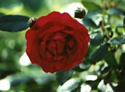 Click to enlarge image  - Red Rose -