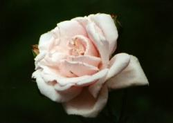 Click to enlarge image  - Pink Rose -